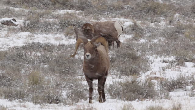 MS/SLOMO  shot of 3 massive bighorn sheep ram (Ovis canadensis) interacting in a blizzard