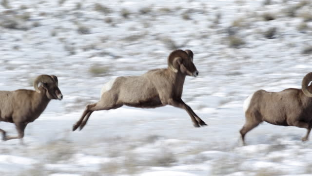 ms/slomo  shot of 3 massive bighorn sheep rams (ovis canadensis) running and leaping through the snow - 動物点の映像素材/bロール