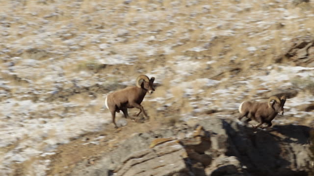 WS/SLOMO  shot of 3 massive bighorn sheep rams (Ovis canadensis) running, jumping and leaping on the cliffs as they chase a ewe