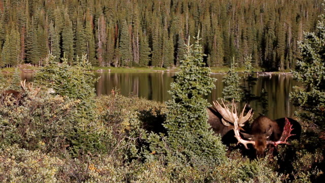 WS Shot of 3 massive bull moose (Alces alces) grazing in willo with antlers flashing in morning light and near lake / Ward, Colorado, United States