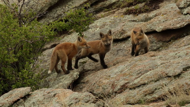 ms shot of 3 red fox (vulpes vulpes) kits playing on a rock at dusk - young animal stock videos and b-roll footage