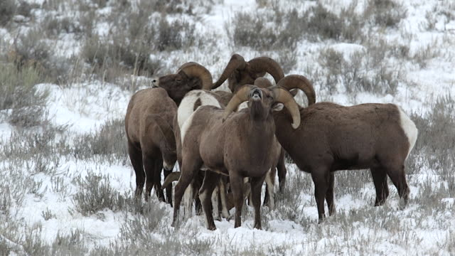 vídeos de stock e filmes b-roll de ms  shot of 6 bighorn sheep rams (ovis canadensis) interacting during the december rut - rebanho de carneiros