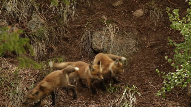 ms shot of 6 red fox (vulpes vulpes) kits playing and fighting in the brush - young animal stock videos & royalty-free footage
