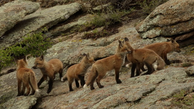 MS shot of 6 red fox (Vulpes vulpes) kits playing on a rock at dusk