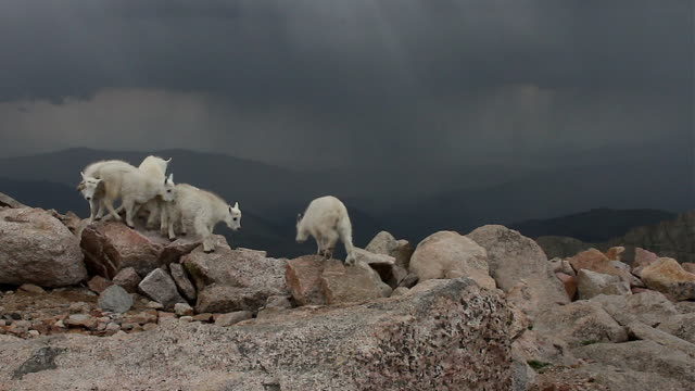 WS  shot of 6 rocky mountain goat kids (Oreamnos americanus) jumping and playing on top of the mountain during a lightning storm