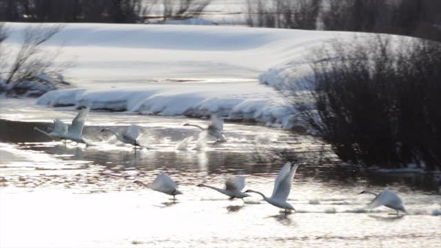 WS/SLOMO  shot of 8 trumpeter swans (Cygnus buccinator) taking flight in the fresh snow