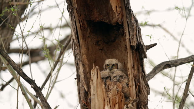 MS  shot of a 3 great horned owlets (Bubo virginianus) peeking out of the nest