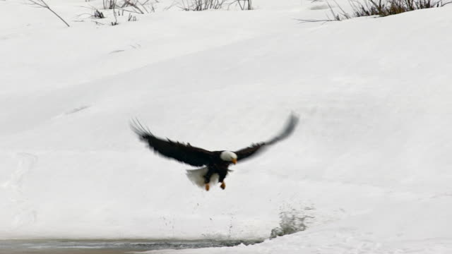 MS shot of a bald eagle (Haliaeetus leucocephalus) in flight and fighting with 4 otters at the Snake River over a fish