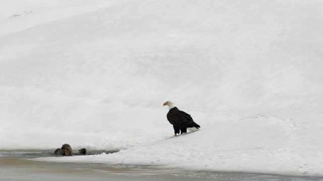 ms shot of a bald eagle (haliaeetus leucocephalus) waiting patiently for a meal with 4 otters at the snake river - mt moran stock videos & royalty-free footage