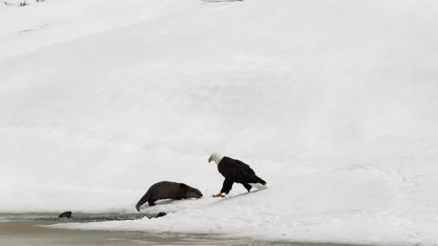 stockvideo's en b-roll-footage met ms shot of a bald eagle (haliaeetus leucocephalus) waiting patiently for a meal with 4 otters at the snake river - mount moran