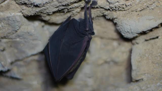 Shot of a bat hibernating at the cave