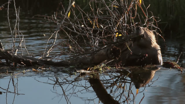 vídeos de stock e filmes b-roll de ts  4k shot of a beaver (castor canadensis) carrying a mouthful of twigs over a dam - castor roedor