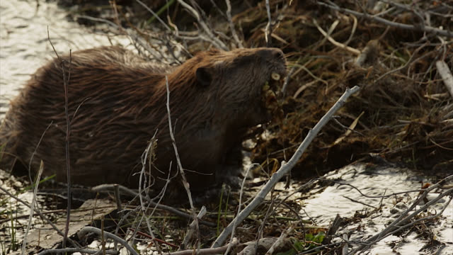 ts  4k shot of a beaver (castor canadensis) carrying a mouthful of twigs - beaver stock videos & royalty-free footage