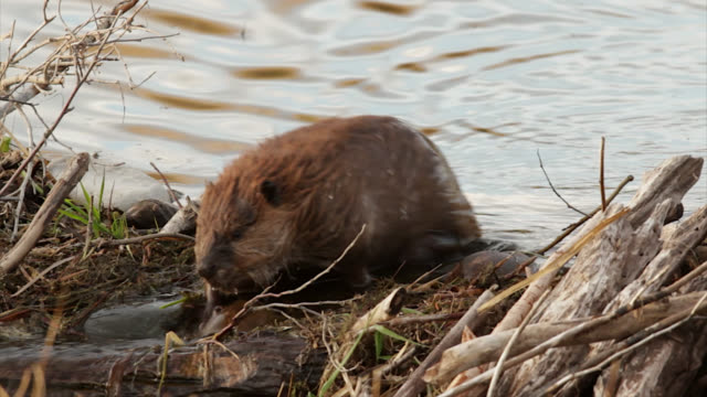 ts  4k shot of a beaver (castor canadensis) crossing over a dam - roditore video stock e b–roll