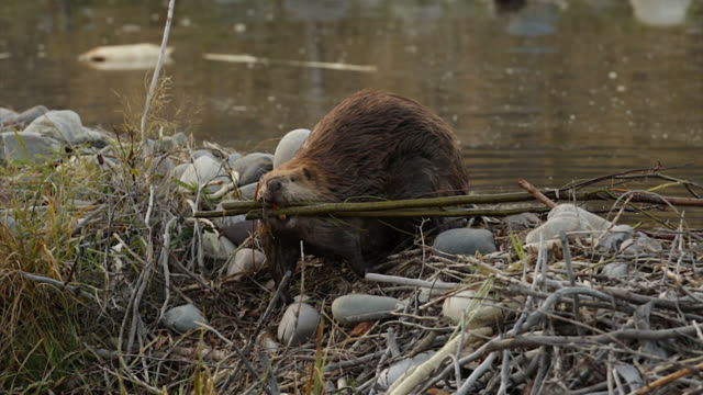 ms  4k shot of a beaver (castor canadensis) crossing over a dam with twigs in it's mouth - beaver stock videos & royalty-free footage