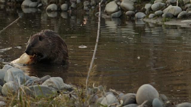 vídeos y material grabado en eventos de stock de ms  4k shot of a beaver (castor canadensis) eating a log in a pond - castor