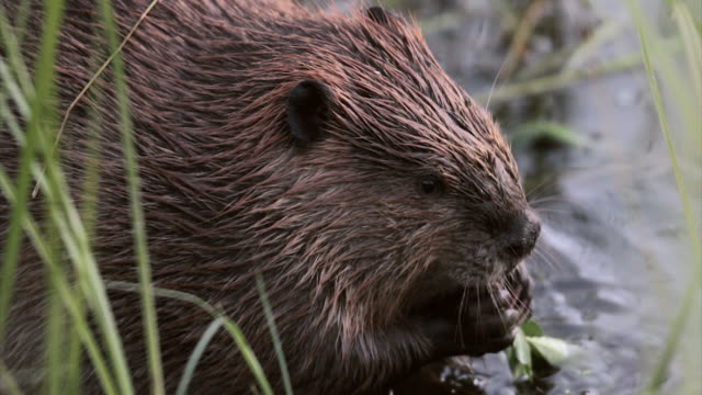 vídeos de stock e filmes b-roll de ts  4k shot of a beaver (castor canadensis) eating vegetation in a pond - castor roedor