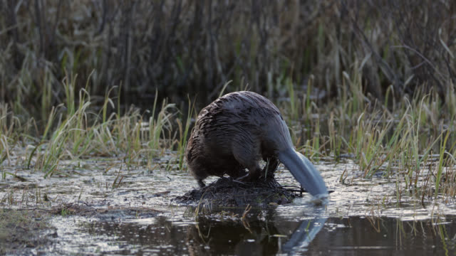 ms  4k shot of a beaver (castor canadensis) marking his territory in a pond - beaver stock videos & royalty-free footage