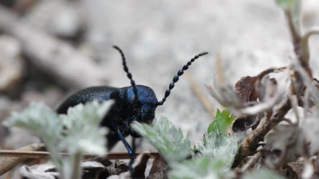 shot of a beetle(meloe proscarabaeus) eating leaf - animal antenna stock videos & royalty-free footage