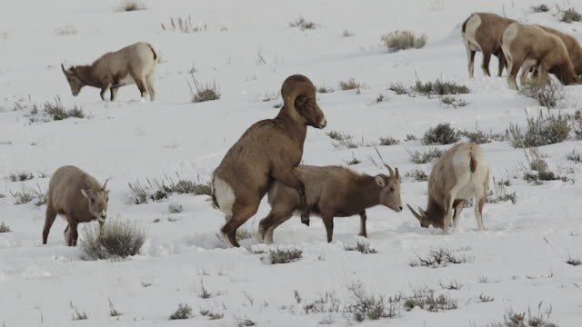 ws/ms  shot of a bighorn sheep ram (ovis canadensis) running while mating with a ewe during the rut - mutterschaf stock-videos und b-roll-filmmaterial