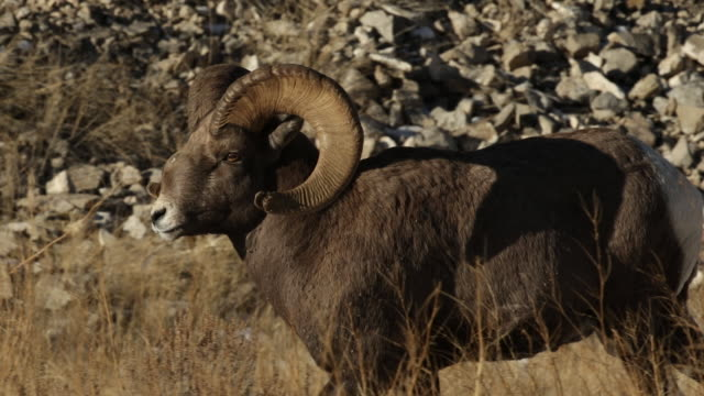 ms pl  shot of a bighorn sheep ram (ovis canadensis) with a broken nose, sustained during the december rut - horned stock videos & royalty-free footage