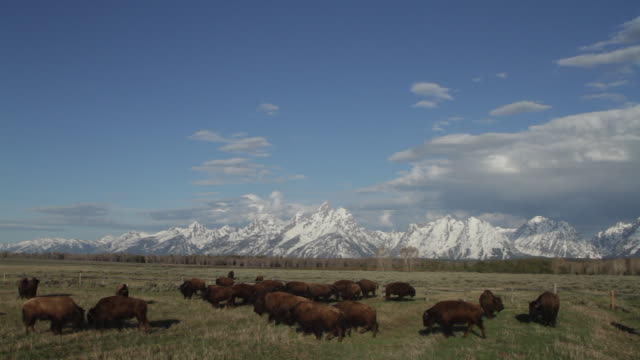 WS shot of a bison herd (Bison bison) running and fighting in front of the Teton mountain range