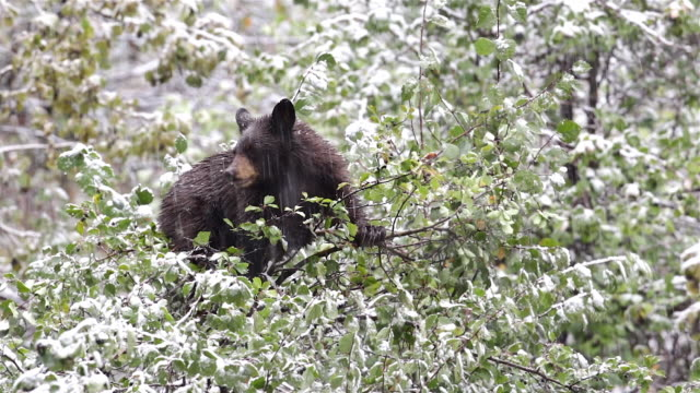 ms shot of a black bear (ursus americanus) eating berries in the snow - grand teton national park stock videos & royalty-free footage