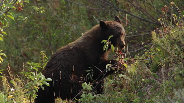 MS  shot of a black bear (Ursus americanus) eating choke cherries on the side of the hill in slow motion