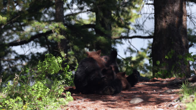ms  4k  shot of a black bear nursing her newborn cubs (ursus americanus) - wyoming stock videos & royalty-free footage