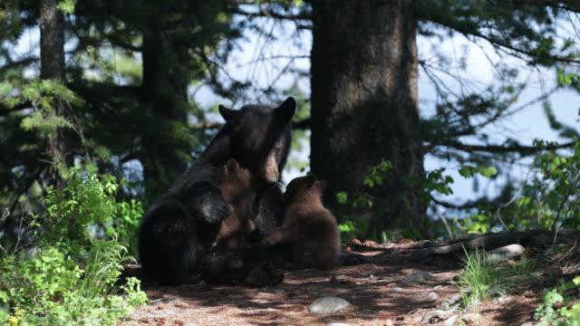 ms  4k  shot of a black bear nursing her newborn cubs (ursus americanus) - raubtierjunges stock-videos und b-roll-filmmaterial