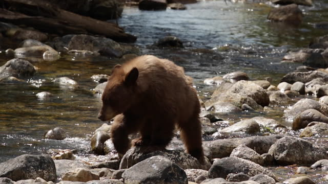 MS  shot of a black bear (Ursus americanus) walking across a stream toward the camera(slow motion)