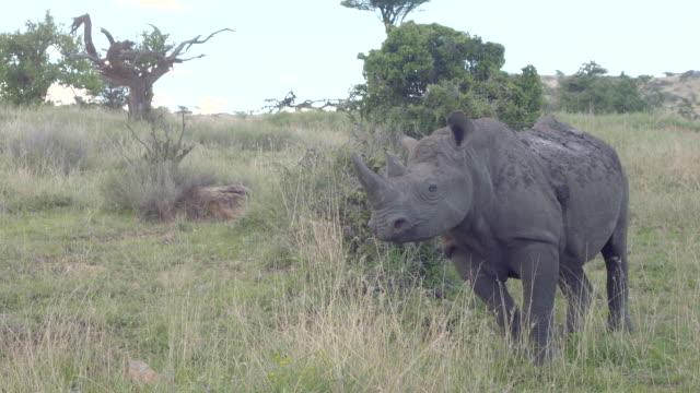 Shot of a Black rhinoceros (Diceros bicornis) at the Lewa Wildlife Conservancy, Kenya.