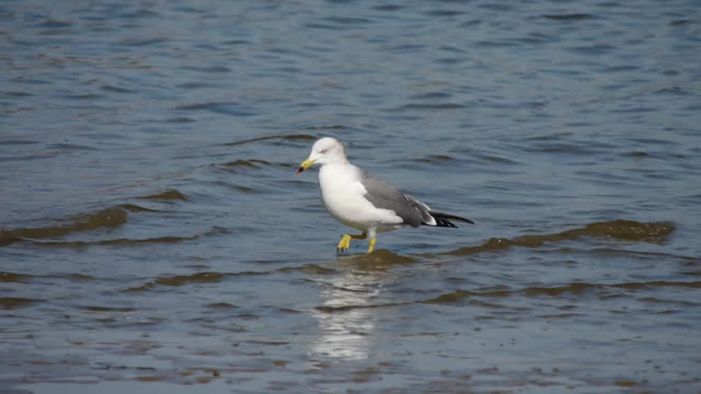 Shot of a black-tailed gull at the seaside
