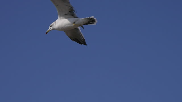 Shot of a black-tailed gull flying on sky