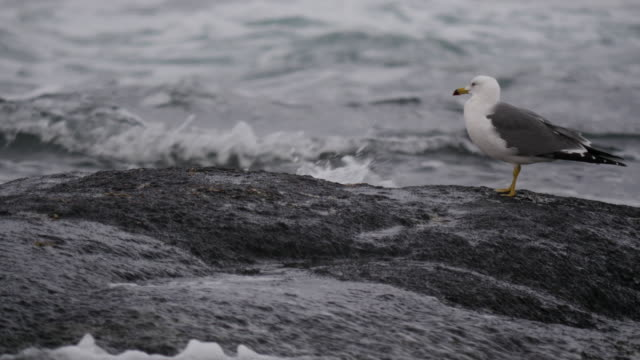 Shot of a black-tailed gull resting on boulder near the sea