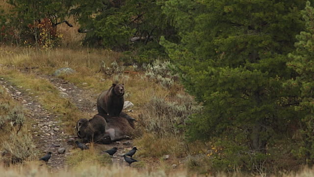ws  shot of a bloody grizzly sow and 2 cubs (ursus arctos) feeding on a bison carcass - mt moran stock videos & royalty-free footage
