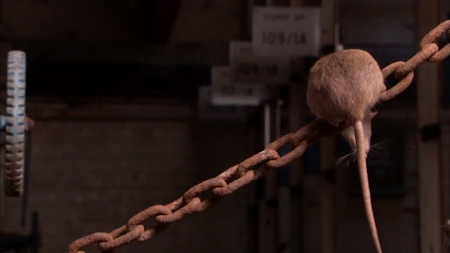stockvideo's en b-roll-footage met shot of a brown rat balancing on a chain. - rat