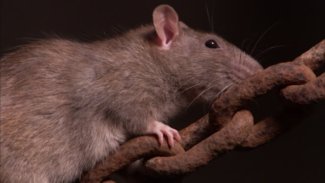 shot of a brown rat climbing on a rusty chain. - chain stock videos and b-roll footage