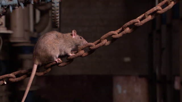 Shot of a brown rat climbing on a rusty chain.