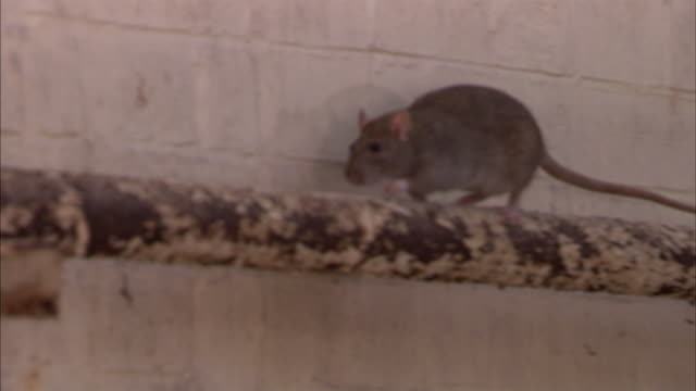 stockvideo's en b-roll-footage met shot of a brown rat scurrying along a pipe. - rat