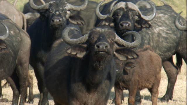 shot of a buffalos at serengeti national park - water buffalo stock videos & royalty-free footage