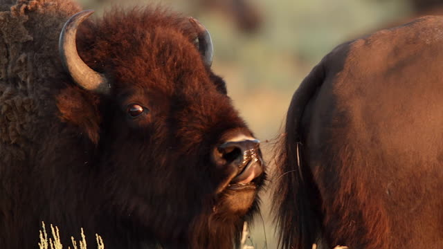 TS  shot of a bull american bison  (bison bison) displaying the flehmen response after sniffing a cow in heat