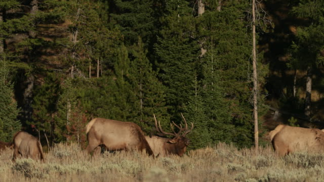 WS 4K shot of a bull elk and cows (Cervus canadensis) interacting/mating during the rut