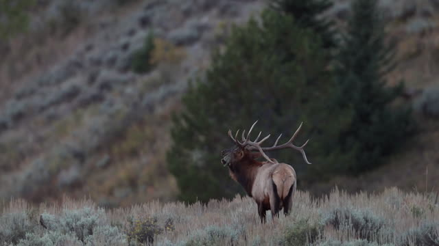 ms 4k shot of a bull elk (cervus canadensis) bugling during the rut - bugle stock videos and b-roll footage