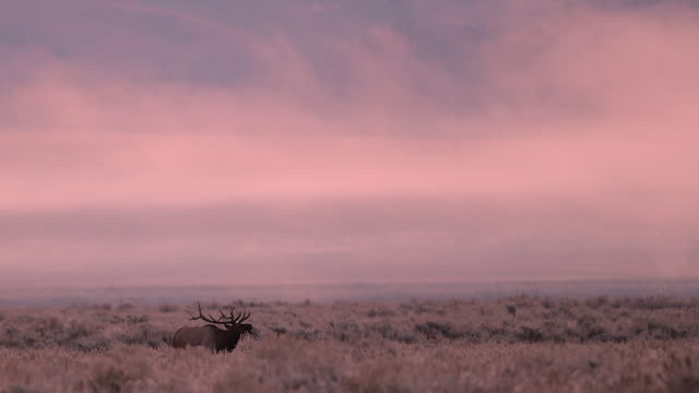 ws  4k shot of a bull elk (cervus canadensis) running through a meadow and bugling at sunrise - bugle stock videos and b-roll footage