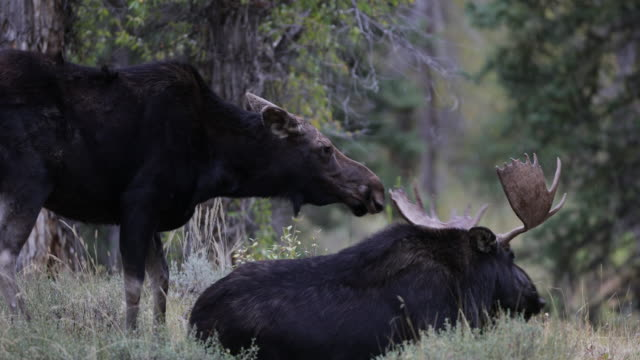 stockvideo's en b-roll-footage met ms 4k shot of a bull moose and cow (alces alces) interacting/mating during the rut - dierlijk gedrag