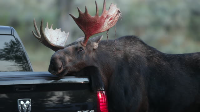 TS 4K shot of a bull moose (Alces alces) attempting to mate with a new Dodge Ram pickup truck