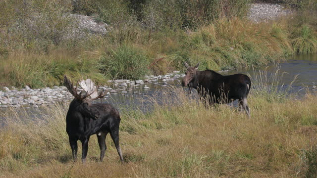 ms 4k shot of a bull moose  (alces alces) courting a cow with twin calves during the fall rut - kleine gruppe von tieren stock-videos und b-roll-filmmaterial