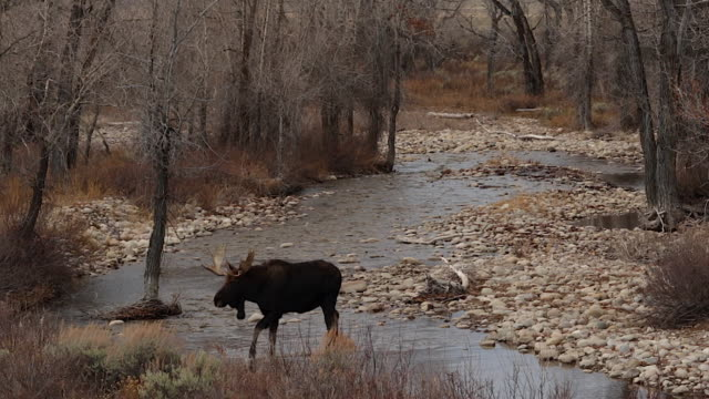WS   shot of a bull moose (Alces alces) crossing a stream in a cottonwood forest during the rut