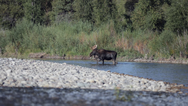 ws 4k shot of a bull moose  (alces alces) crossing a stream - wyoming stock videos & royalty-free footage